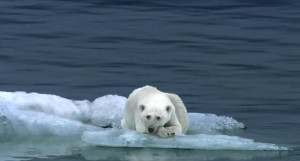 Polar bear habitats are melting right beneath them.
