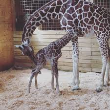 April the Giraffe with her new born baby boy, not yet named (courtesy of eonline).