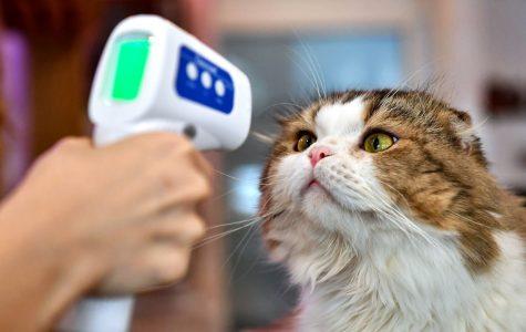 An employee takes a cat's temperature at a cat café in Bangkok.   LILLIAN SUWANRUMPHA/AFP VIA GETTY IMAGES
