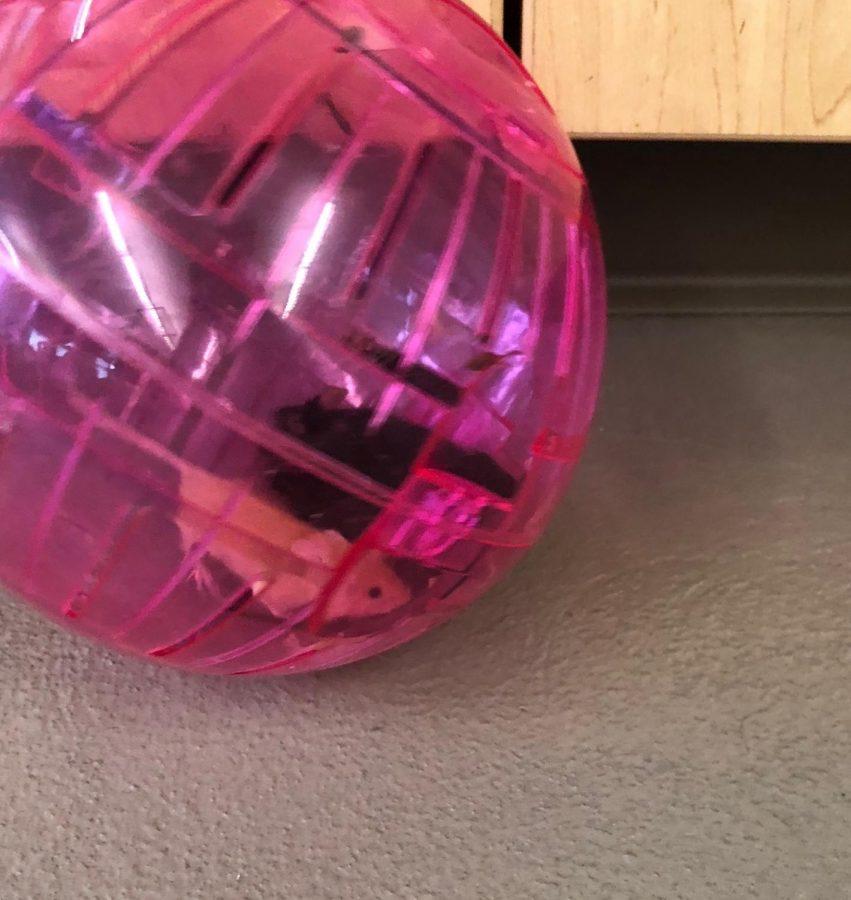 Classroom+mice+Cheddar+and+Patricia+run+around+Mr.+Adam+Burkhardt%27s+room+in+their+ball.