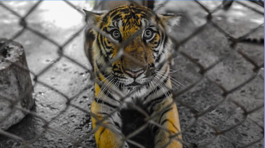 Lions and Tigers Rescued From Abusive Circuses in Central America