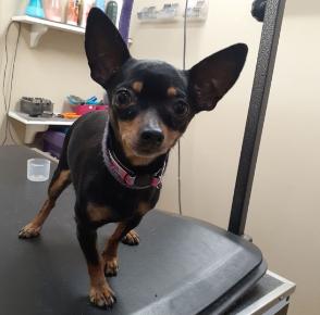 Six Chihuahuas thrown From Van Window