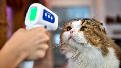 An employee takes a cat's temperature at a cat café in Bangkok.   LILLIAN SUWANRUMPHA/AFP VIA GETTY IMAGES