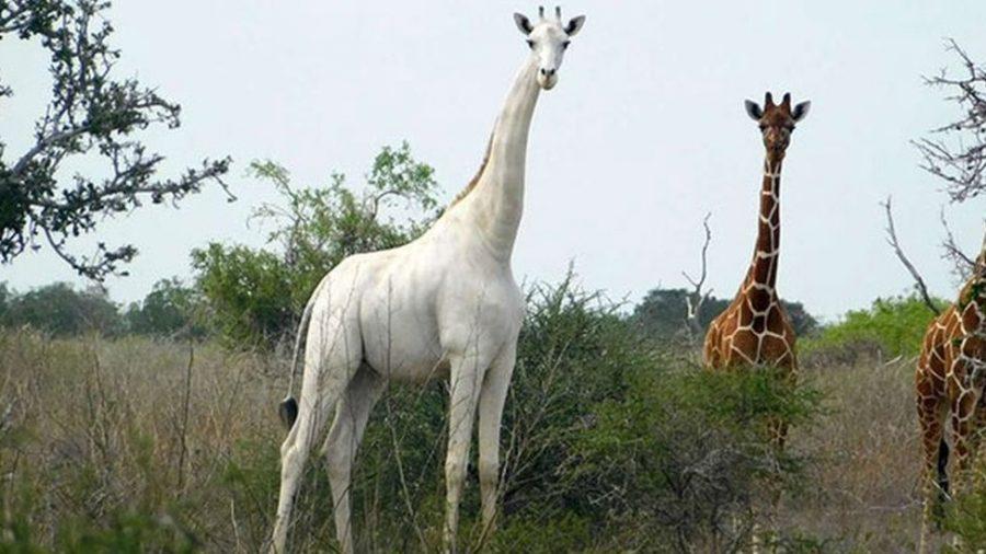 Rare Albino Giraffe Discovered