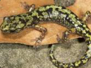 Green Salamander Going Extinct