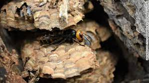 The first murder hornet nest of 2021, discovered in Blaine, Washington. Credit: CNN.com
